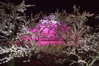夜桜見学会